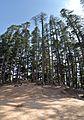 Hilltop Conifers - Naldehra 2014-05-08 1888-1890 Compress.JPG