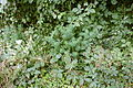 Hilzingen - Hohenkrähen - Euphorbia cyparissias 01 ies.jpg