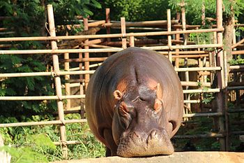 Hippopotamus at Indira Gandhi Zoological Park, Visakhapatnam.jpg