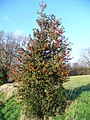 Holly Tree by Chase Wood - geograph.org.uk - 303125.jpg