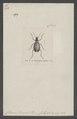 Homalodera - Print - Iconographia Zoologica - Special Collections University of Amsterdam - UBAINV0274 013 01 0024.tif
