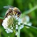 Honeybee on Clover 03.jpg