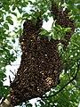 Honigbiene Apis mellifera Schwarm in Haferschlehe-OhWeh-003.jpg