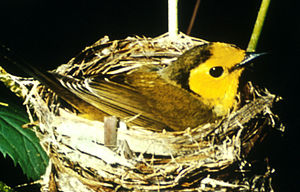 Oak Ridges Moraine - The hooded warbler is a threatened species in Canada. Happy Valley Forests is one of the few remaining Canadian habitats for this species.
