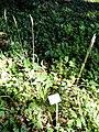 Hordelymus europaeus - Botanical Garden, University of Frankfurt - DSC02424.JPG