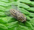 Horse-fly. Tabanus bromius^ Tabanidae - Flickr - gailhampshire.jpg