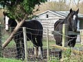 Horses at Lower Mickletown - geograph.org.uk - 1592329.jpg