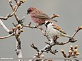 House Sparrow (Passer domesticus) (47926123901).jpg