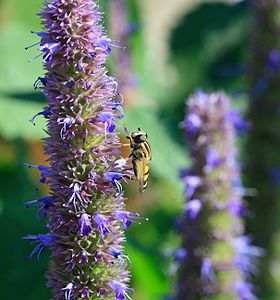 Hoverfly on Agastache Blue Fortune.jpg