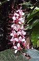 Humboldtia brunonis 01.JPG