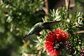 Hummingbird in ggp 2.jpg