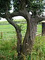 Husband and wife trees - Blackthorn.JPG