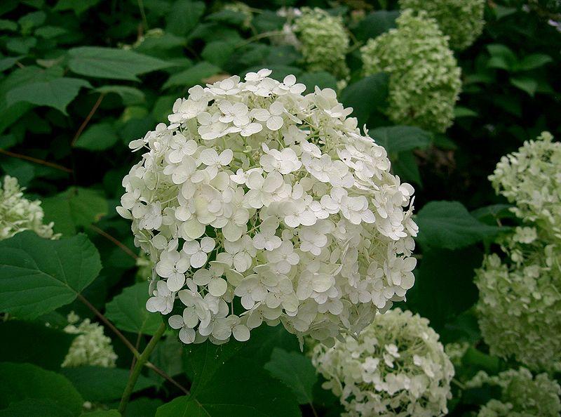 File:Hydrangea arborescens 'annabelle'1.jpg