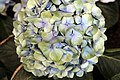 Hydrangea macrophylla Mathilda Gutges 8zz.jpg