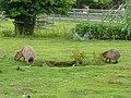 Hydrochoeris hydrochaeris pair in Howletts Wild Animal Park 2.jpg