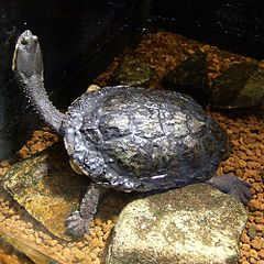 Argentine Snake-necked Turtle