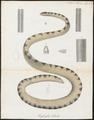 Hydrophis hybrida - 1700-1880 - Print - Iconographia Zoologica - Special Collections University of Amsterdam - UBA01 IZ11800171.tif