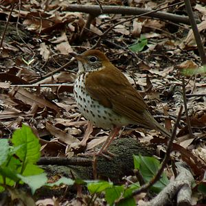Wood thrush - In Central Park, New York City