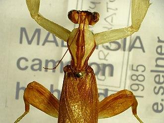 Hymenopus coronatus - Image: Hymenopus coronatus head