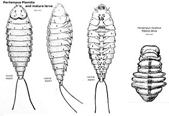 Hypermetamorphosis - These planidia are fairly typical of certain species of parasitoid wasps, in this case the genus Perilampus.