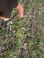 Hypochaeris glabra rosette2 ST - Flickr - Macleay Grass Man.jpg