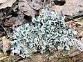 Hypogymnia physodes on a log.jpg