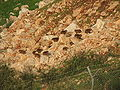 Hyrax colony.jpg