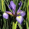 IMG 7902-Iris spuria ssp notha.jpg