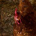 ISA Brown - poule - chicken.jpg