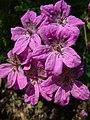 Iglica pirenejska Erodium manescavi.jpg
