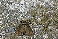 Ilema olivacea (44236726325).jpg