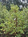 Ilex aquifolium Argentea Marginata 0zz.jpg