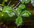 Ilex opaca in Hackfalls Arboretum (3).jpg