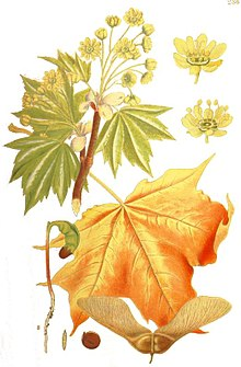 Illustration Acer platanoides1 clean.jpg