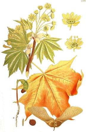 Description de l'image Illustration Acer platanoides1_clean.jpg.