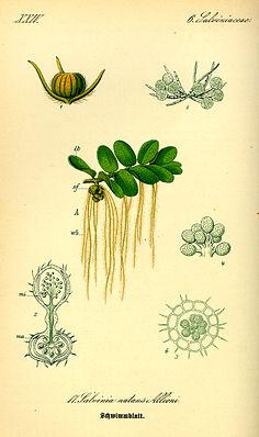 Gemeiner Schwimmfarn (Salvinia natans), Illustration