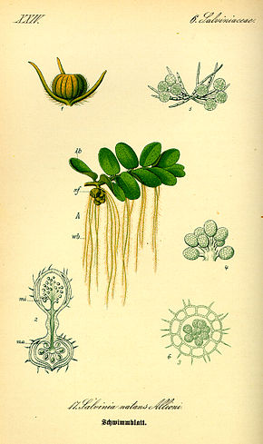 Description de l'image Illustration Salvinia natans0.jpg.