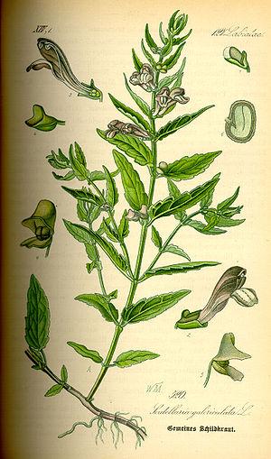 Scutellaria galericulata - Image: Illustration Scutellaria galericulata 0
