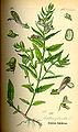 Illustration Scutellaria galericulata0.jpg