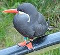 Inca tern in Rostock.jpg