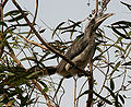 Indian Grey Hornbill (Ocyceros birostris) in Hyderabad W IMG 8900.jpg