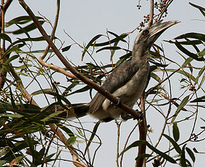 Indian grey hornbill - A male