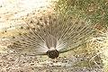 Indian peafowl (4).jpg