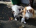 Indiana jones dog (2956741607).jpg