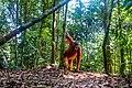 Indonesia - Bukit Lawang (26552969755).jpg
