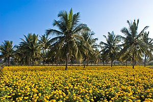 Coconut production in Kerala - Image: Intercropping coconut n Tagetes erecta