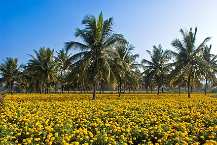 Intercropping of coconut and Mexican marigold Intercropping coconut n Tagetes erecta.jpg
