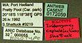 Iridomyrmex cephaloinclinus casent0172059 label 1.jpg