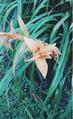 Iris Naranja.png