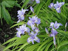 Iris gracilipes (8937183370).jpg